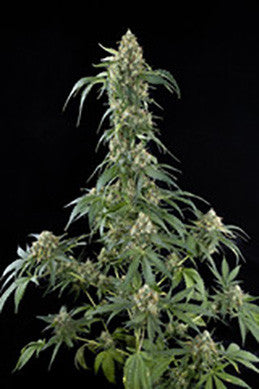 White Widow - Feminised, Dinafem Seeds, Cannabis Seeds, Marijuana Seeds, Weed Seeds