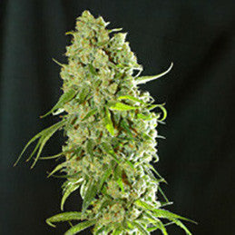 Cannatonic - RF, Resin Seeds, Cannabis Seeds, Marijuana Seeds, Weed Seeds