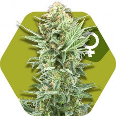 Power Kush - Feminised, Zambeza Seeds, Cannabis Seeds, Marijuana Seeds, Weed Seeds