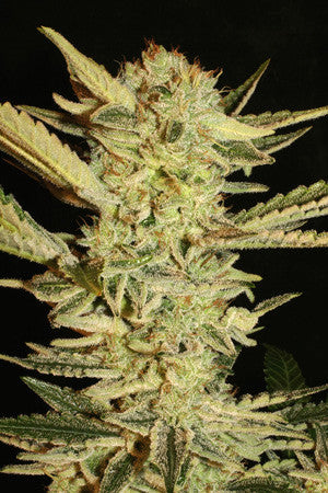 Automatic Fini - Auto/Feminised, Super Strains, Cannabis Seeds, Marijuana Seeds, Weed Seeds