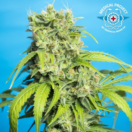 Heavens Gate CBD - Feminised, Tropical Seeds, Cannabis Seeds, Marijuana Seeds, Weed Seeds