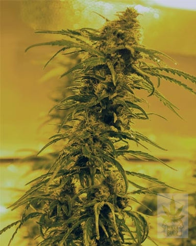 Black Blood - Feminised, Medicann, Cannabis Seeds, Marijuana Seeds, Weed Seeds