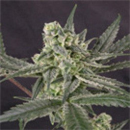 Old School - Feminised, Ripper Seeds, Cannabis Seeds, Marijuana Seeds, Weed Seeds
