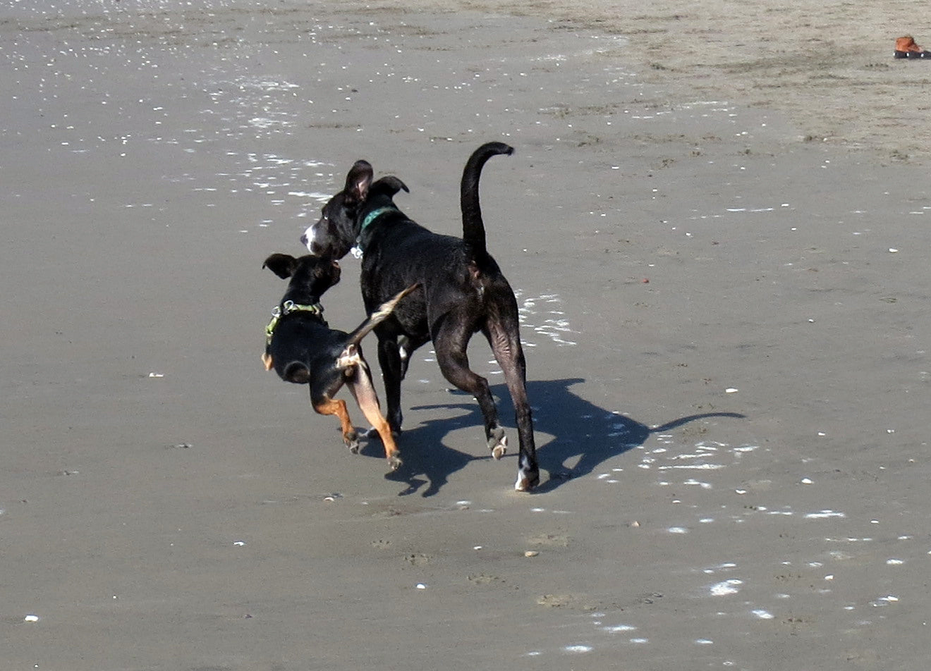 Roxy has met a friend at the beach and is trying to recruit him into the animal testing program by showing him how fun it is to be her.