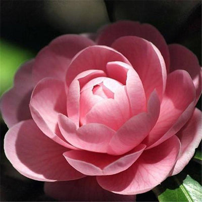 100 Mixed Color Camellia Impatiens Seeds