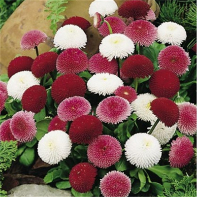 100pcs/Pack Rare Bonsai Chrysanthemum Flower Seeds