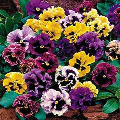 100seeds/Pack Beautiful Pansy Seeds Mix Color