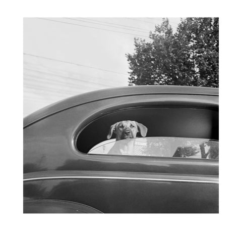Marjory Collins - Dog in Car