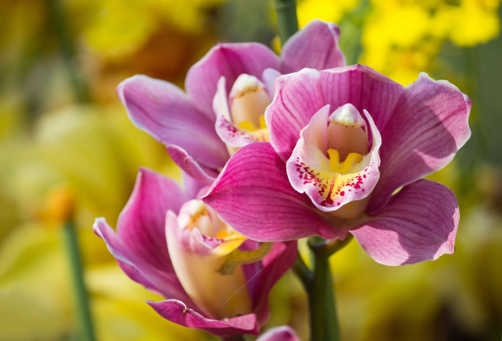 Buy Orchids Cape Town Shop Fabulous Flowers Gift Delivery