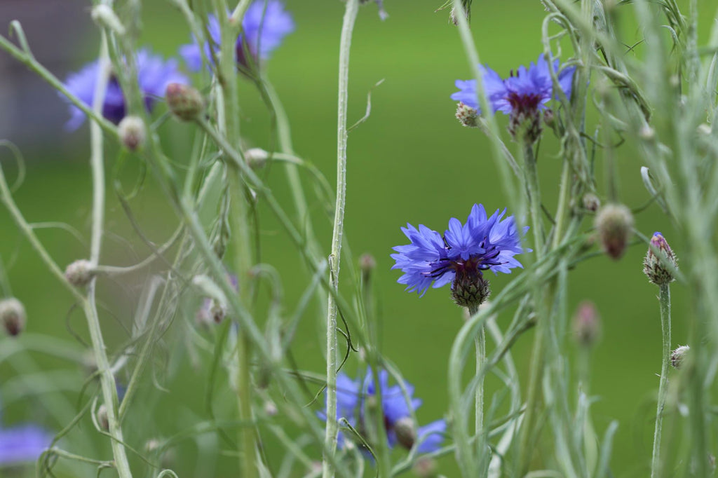 Blue cornflowers | Shop Fabulous Flowers