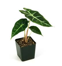 Elephant Ears - September Houseplant of the Month
