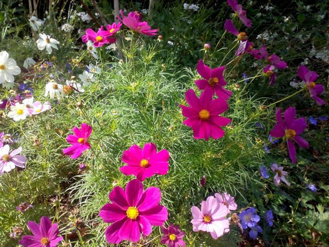 october birth month flower the cosmos