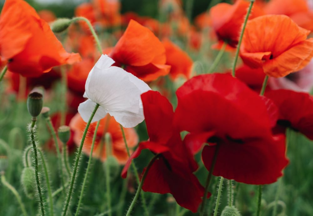 Poppy is the August birthday flower | Fabulous Flowers Cape Town florist