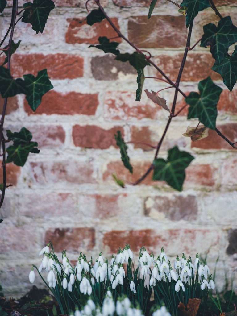 Snowdrops January birthday flowers | Shop Fabulous Flowers
