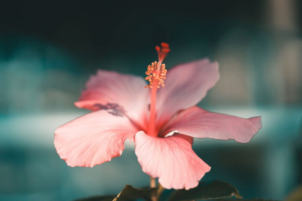 Hibiscus | Shop Fabulous Flowers Cape Town florist