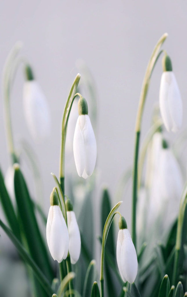 Snowdrops January birthday flower Cape Town florist | Fabulous Flowers