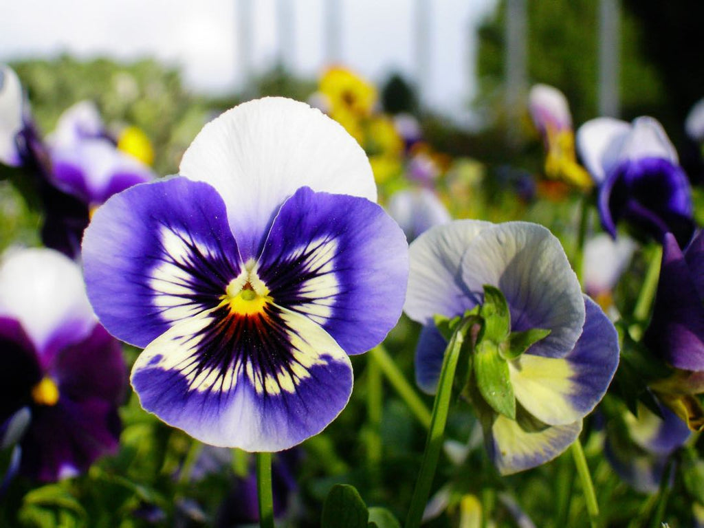 Pansy flower | Shop Fabulous Cape Town florist