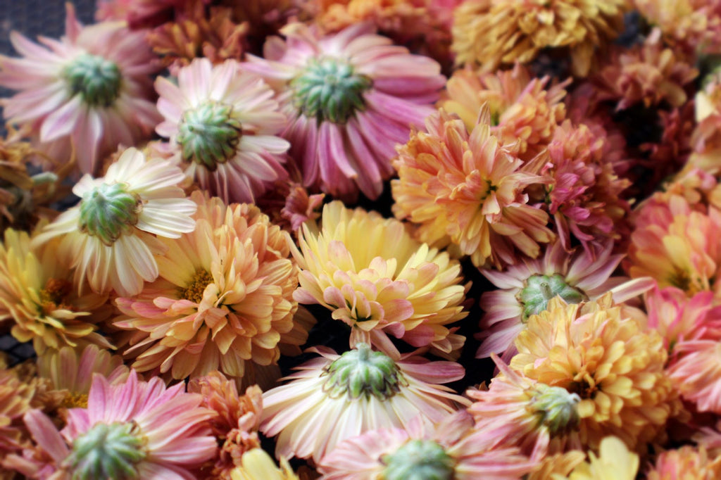 Chrysanthemum flowers | Shop Fabulous Cape Town