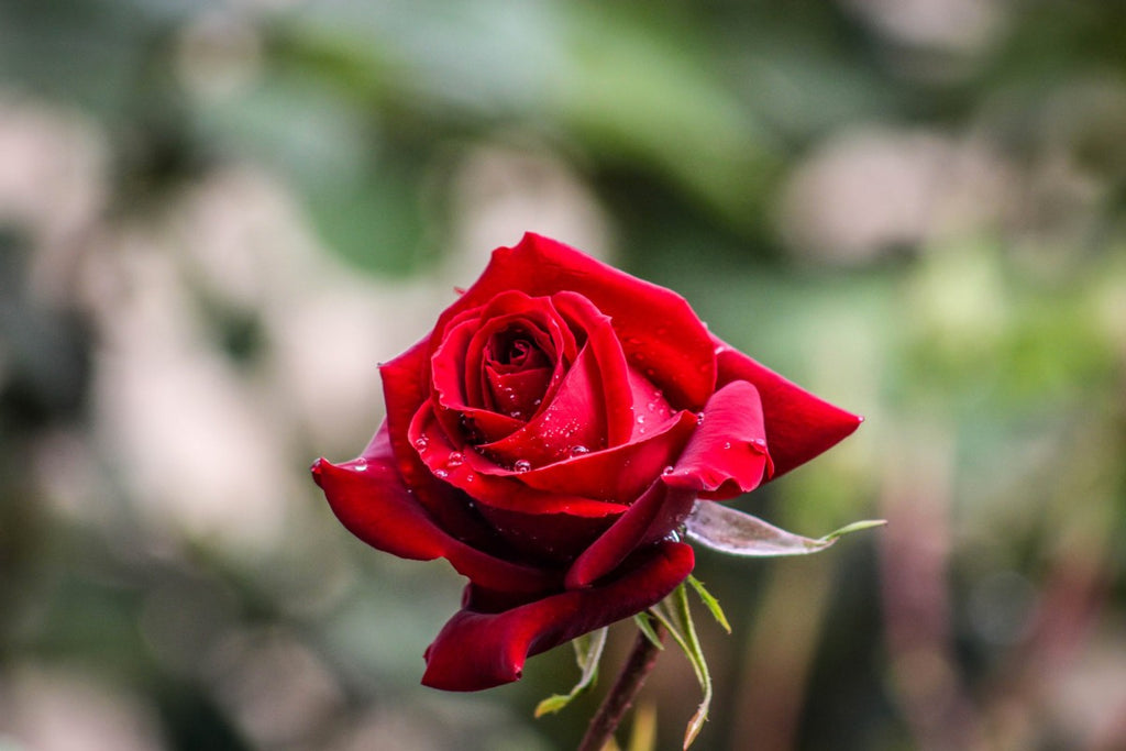 A Guide to Red Roses - Cape Town Valentine's Day - SHOP FABULOUS