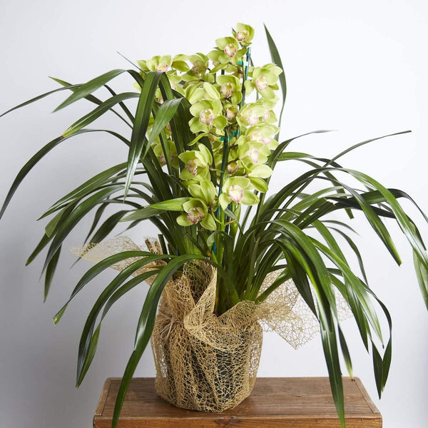 Plants - Cymbidium Orchids