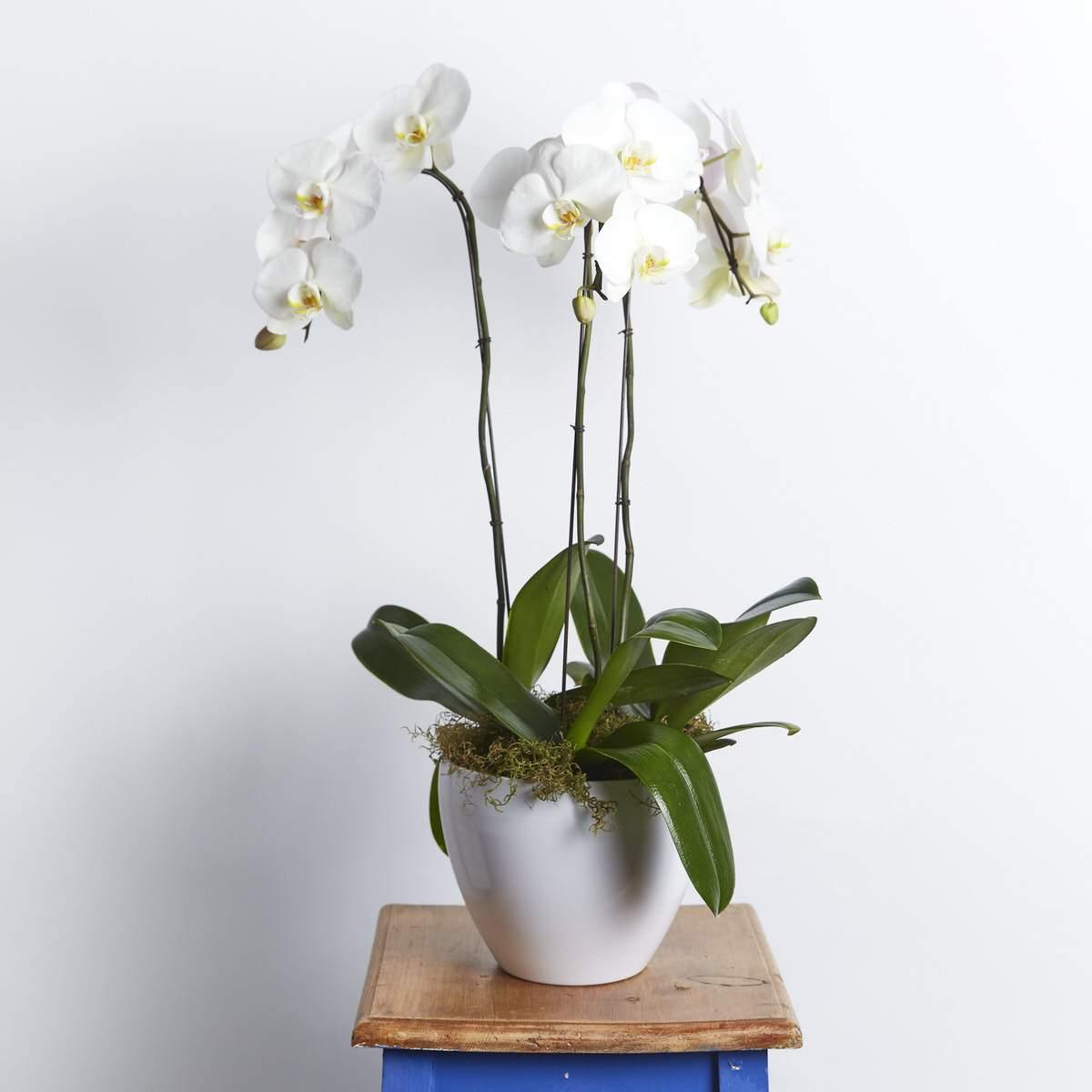 Peace & Serenity Orchid - Fabulous Flowers Cape Town Flower Delivery