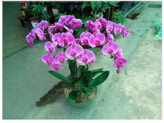Phalaenopsis Orchid Live Plant   - GOP0569