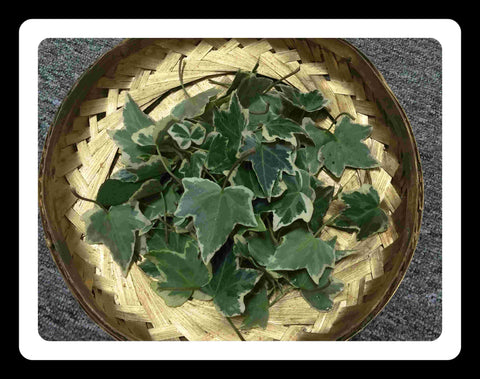 Fresh Ivy Leaves- ROS2244