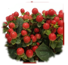 Fresh Cut Hypericum Berries - DIY4219