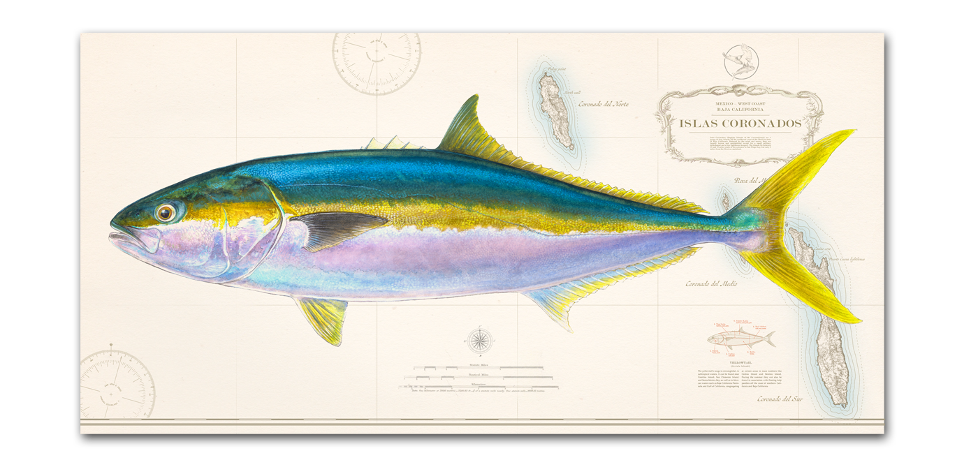 d1c76fc6 Yellowtail over new Coronados and north Baja available now!!