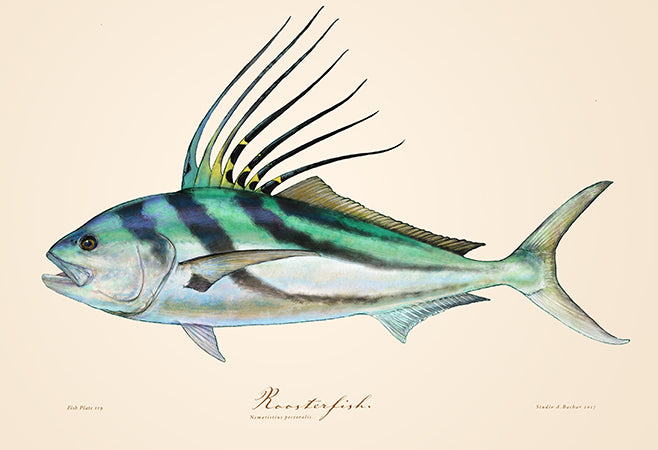 Roosterfish 119