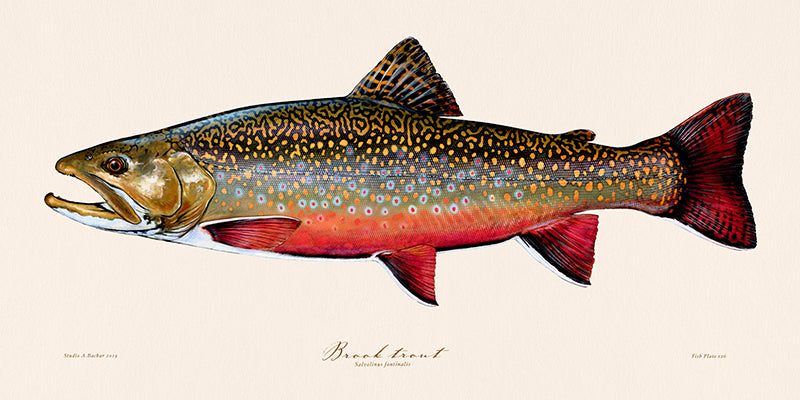 Brook trout 126