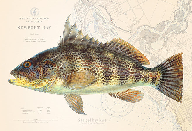 Spotted Bay Bass over Nautical Charts