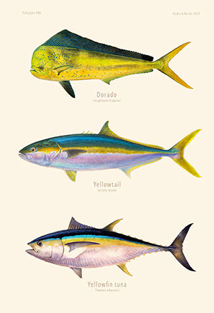 Dorado, yellowtail, yft 304