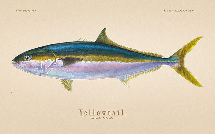 Yellowtail 701