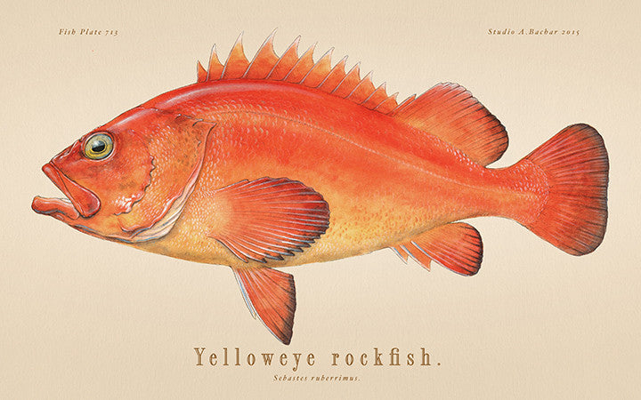 Yelloweye Rockfish 713