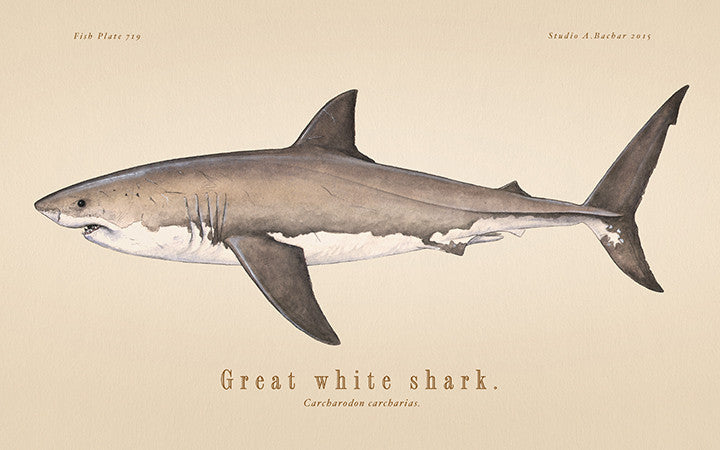 Great White Shark 719