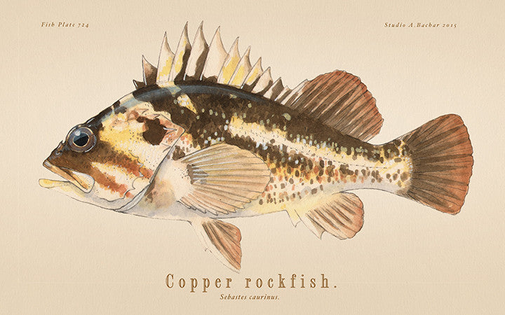Copper Rockfish 724