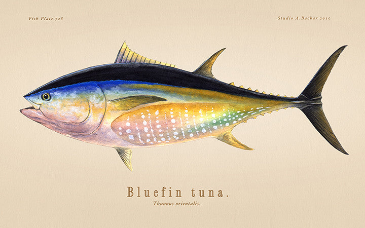 Bluefin Tuna 728