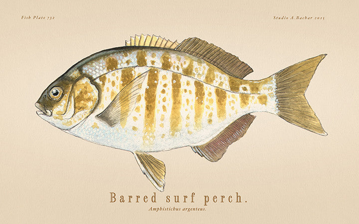Barred Surfperch 732