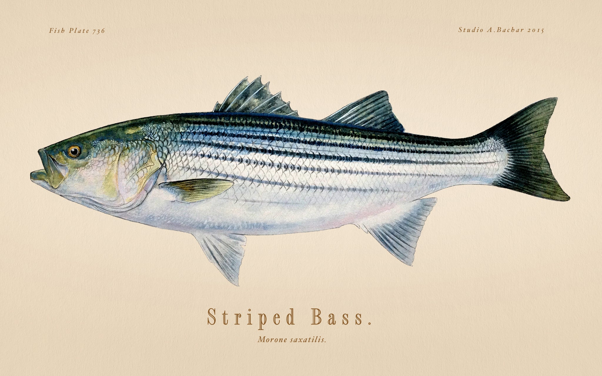 Striped Bass 736