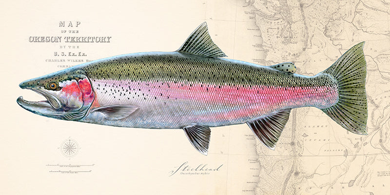 Steelhead over charts