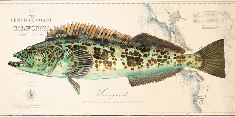 Lingcod over charts