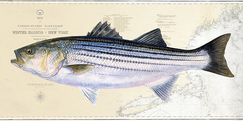 Striped bass over charts