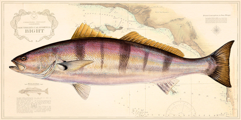 White Seabass Over Charts