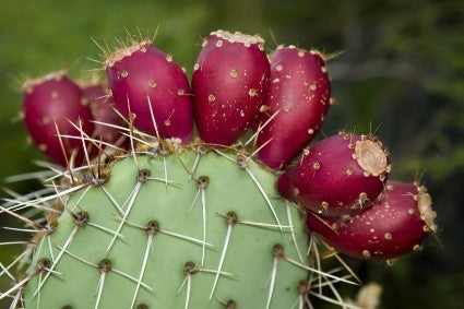 Cactus Flavoring by Inawera