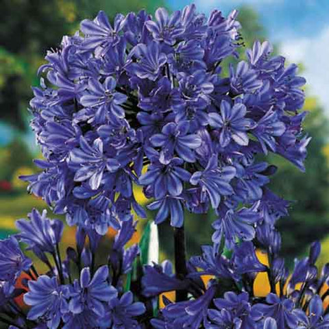 Agapanthus - Storm Cloud (Lily of the Nile)