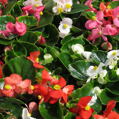 Begonia - Green Leaf Mix