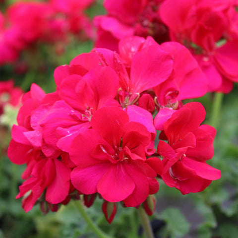 Geranium -  Hot Pink Caliope