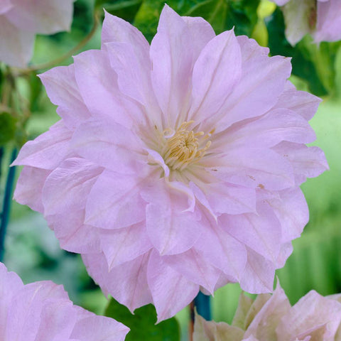 Clematis - Belle of Woking