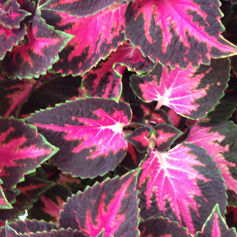 Coleus - Main Street 5th Avenue